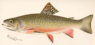 Male Brook Trout